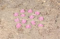 100 Grasbüschel Lavendel, 5-6mNH201919